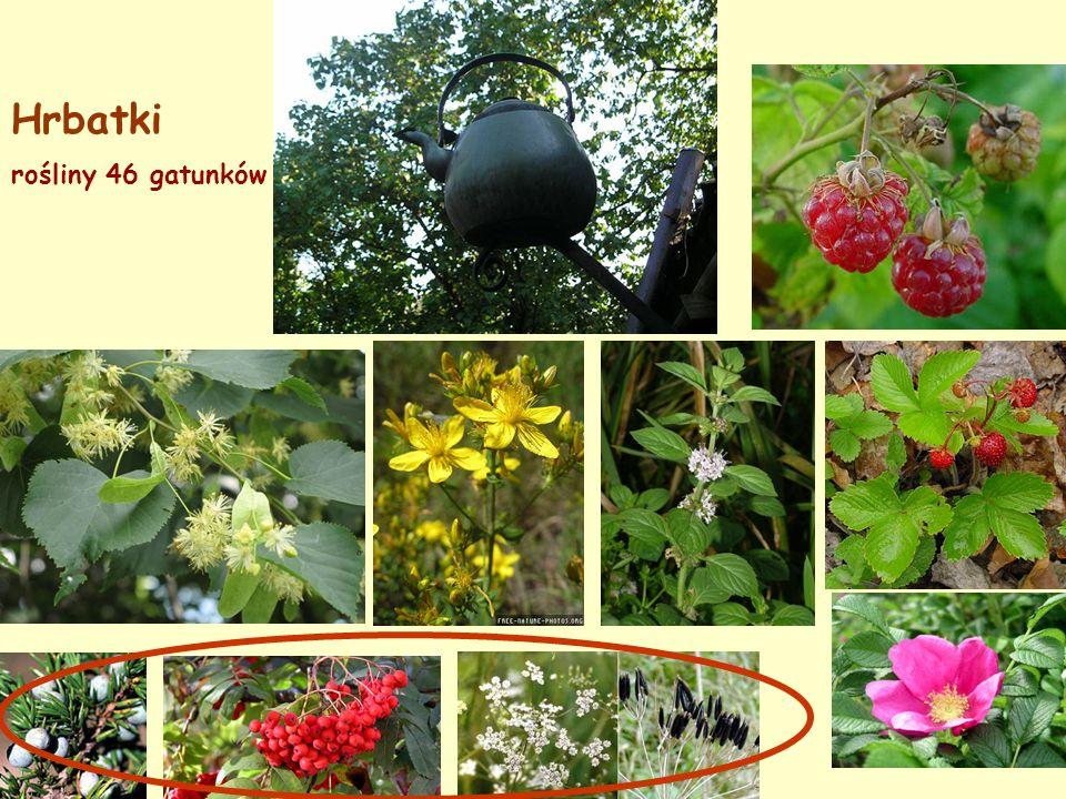 Hrbatki rośliny 46 gatunków