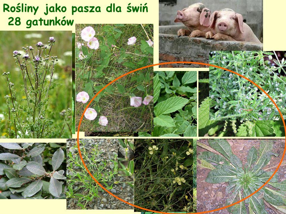 Rośliny jako pasza dla świń