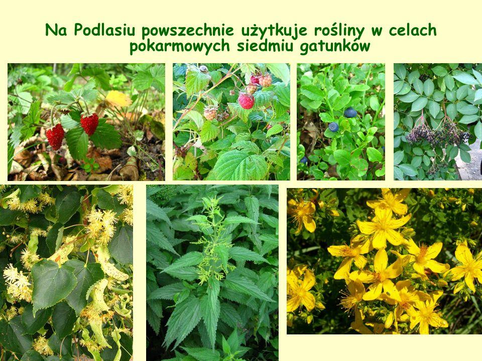 Na Podlasiu powszechnie użytkuje rośliny w celach pokarmowych siedmiu gatunków