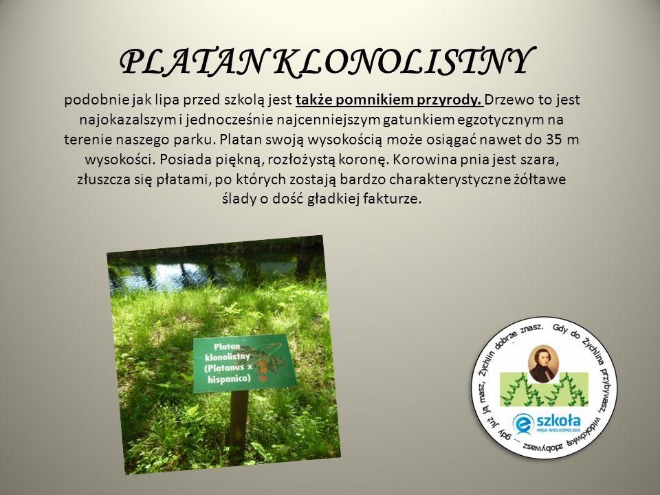 PLATAN KLONOLISTNY