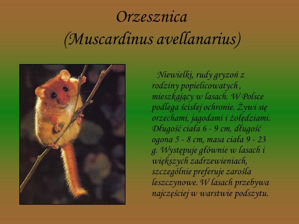 Orzesznica (Muscardinus avellanarius)