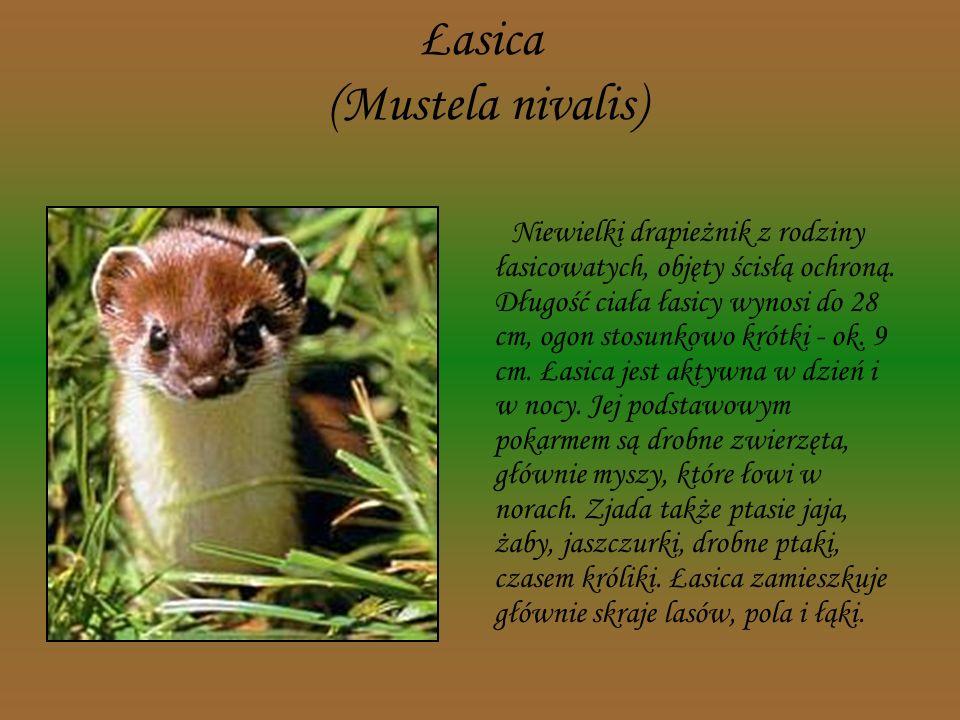 Łasica (Mustela nivalis)