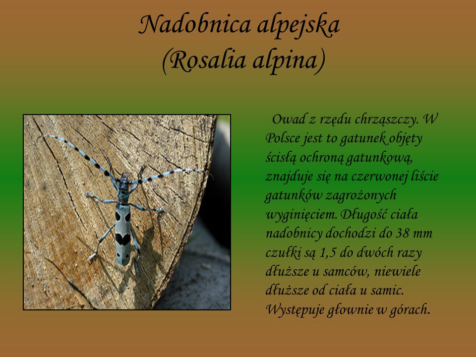 Nadobnica alpejska (Rosalia alpina)
