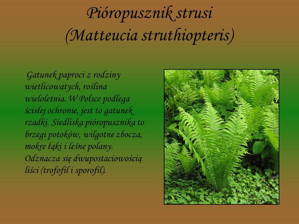 Pióropusznik strusi (Matteucia struthiopteris)