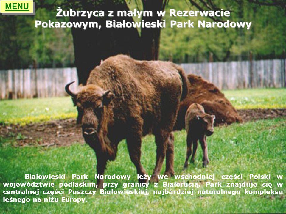 Żubrzyca z małym w Rezerwacie Pokazowym, Białowieski Park Narodowy