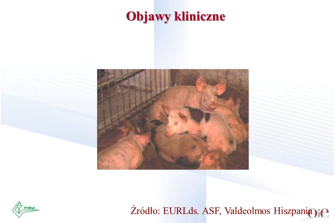 Objawy kliniczne Źródło: EURLds. ASF, Valdeolmos Hiszpania