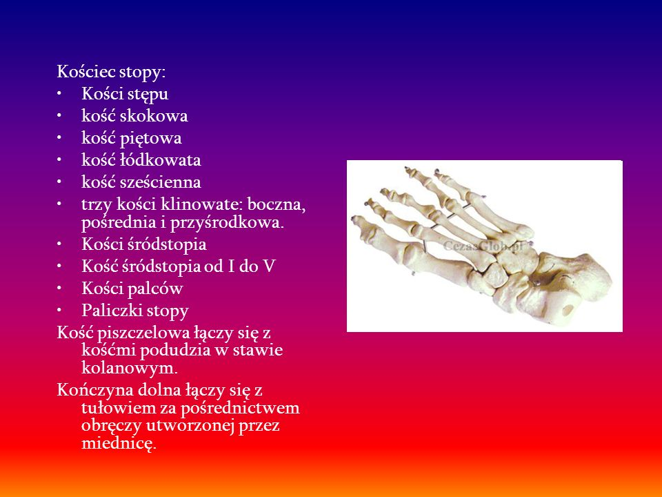 Kościec stopy: Kości stępu. kość skokowa. kość piętowa. kość łódkowata. kość sześcienna. trzy kości klinowate: boczna, pośrednia i przyśrodkowa.