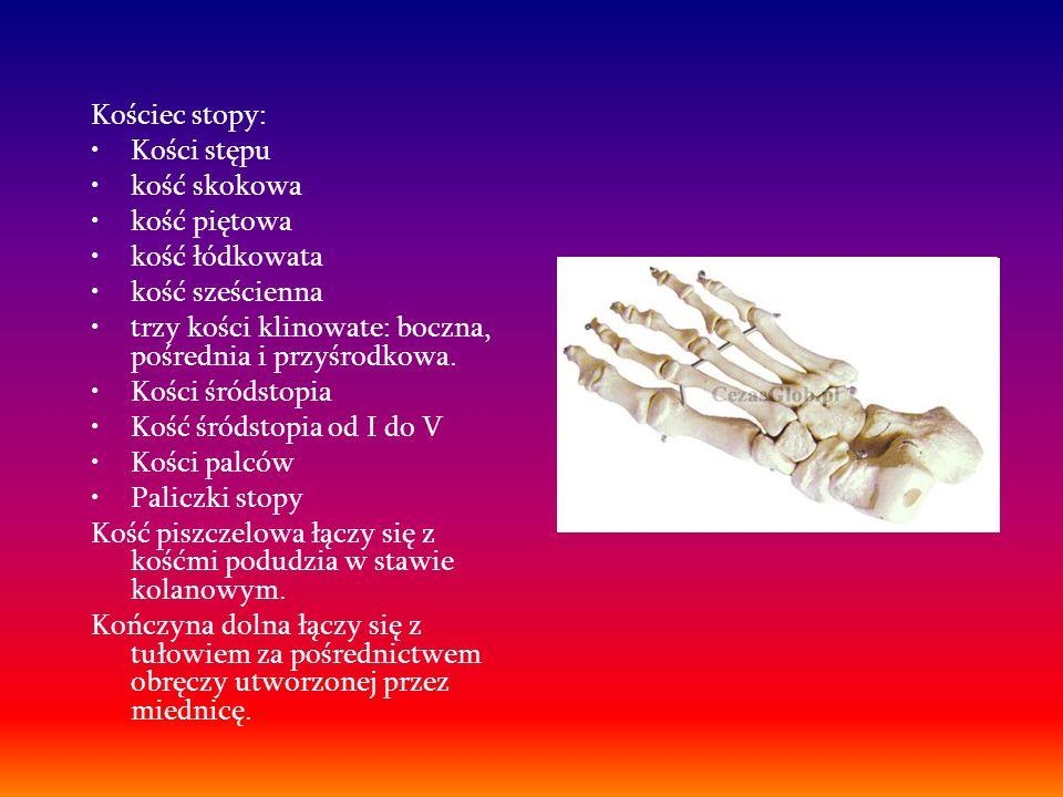 Kościec stopy:Kości stępu. kość skokowa. kość piętowa. kość łódkowata. kość sześcienna. trzy kości klinowate: boczna, pośrednia i przyśrodkowa.