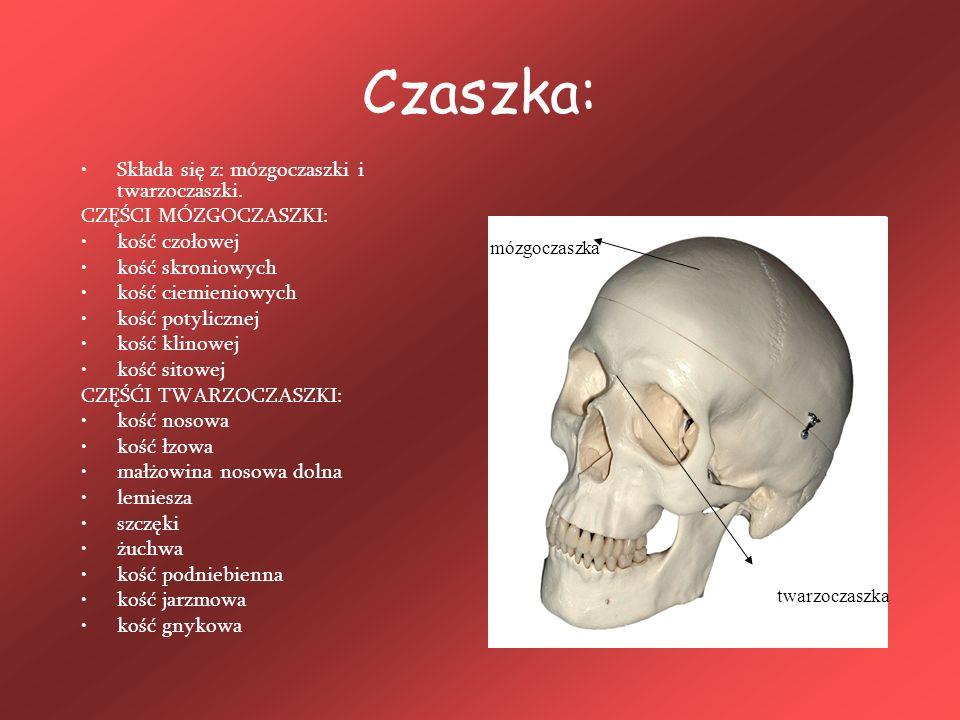 Czaszka: Składa się z: mózgoczaszki i twarzoczaszki.