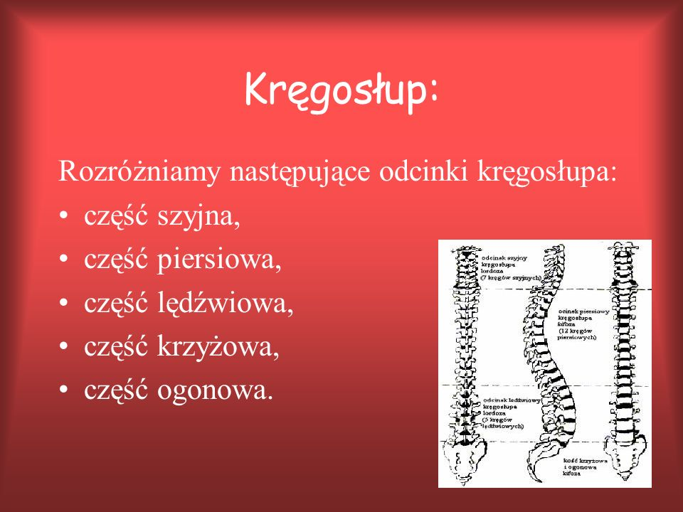 Kręgosłup: Rozróżniamy następujące odcinki kręgosłupa: część szyjna,