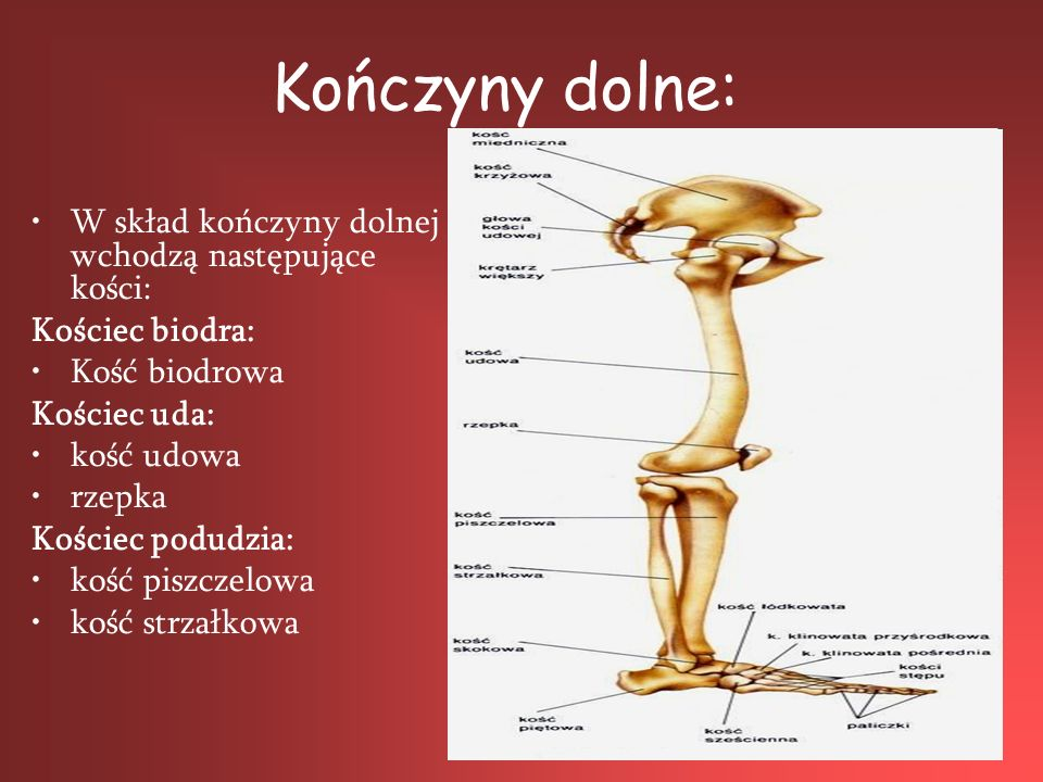 Kończyny dolne: W skład kończyny dolnej wchodzą następujące kości: