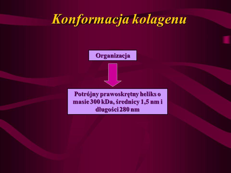 Konformacja kolagenu Organizacja