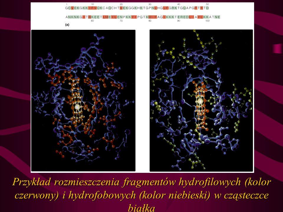Przykład rozmieszczenia fragmentów hydrofilowych (kolor czerwony) i hydrofobowych (kolor niebieski) w cząsteczce białka