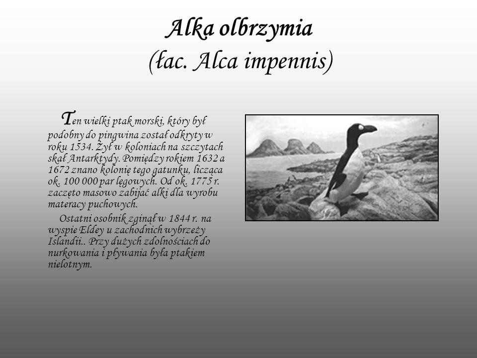 Alka olbrzymia (łac. Alca impennis)