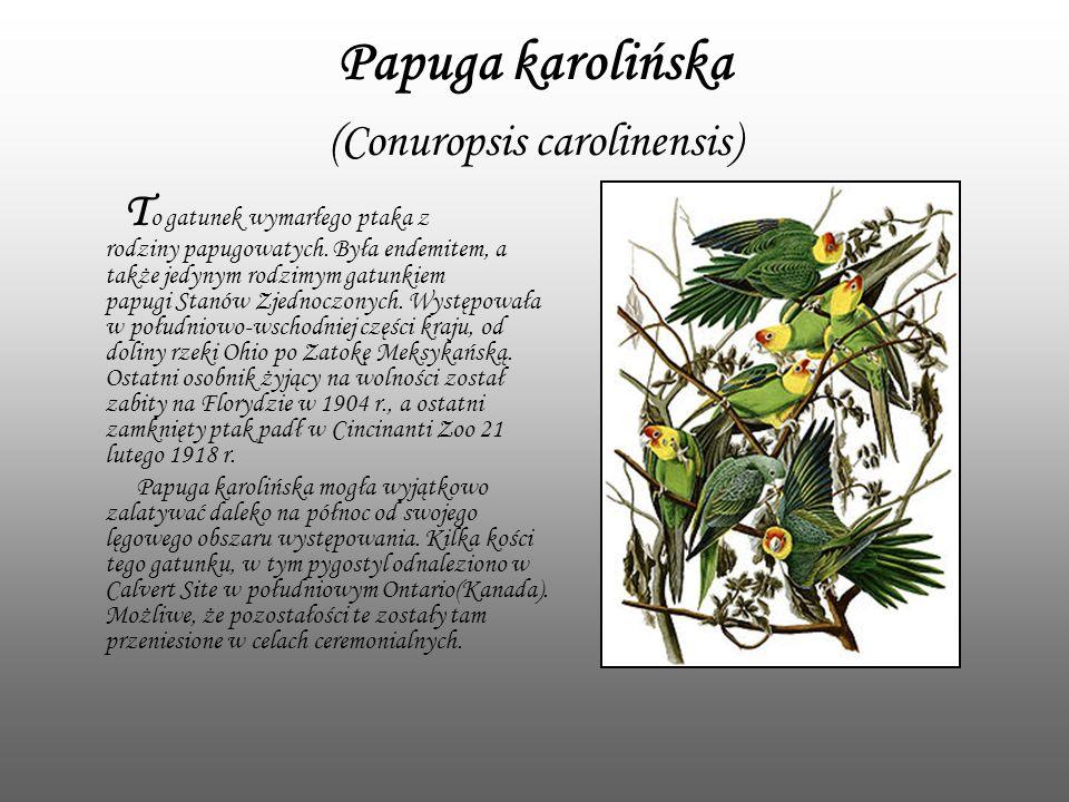 Papuga karolińska (Conuropsis carolinensis)