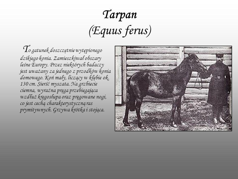 Tarpan (Equus ferus)