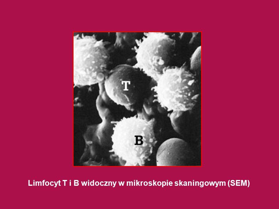 Limfocyt T i B widoczny w mikroskopie skaningowym (SEM)