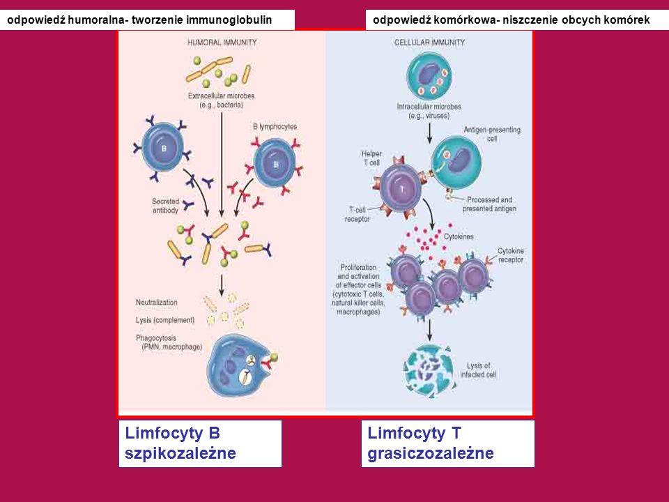 Limfocyty B szpikozależne Limfocyty T grasiczozależne
