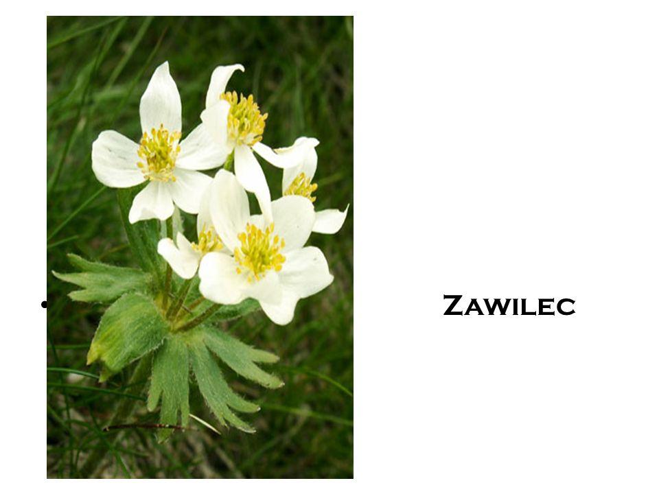 Zawilec
