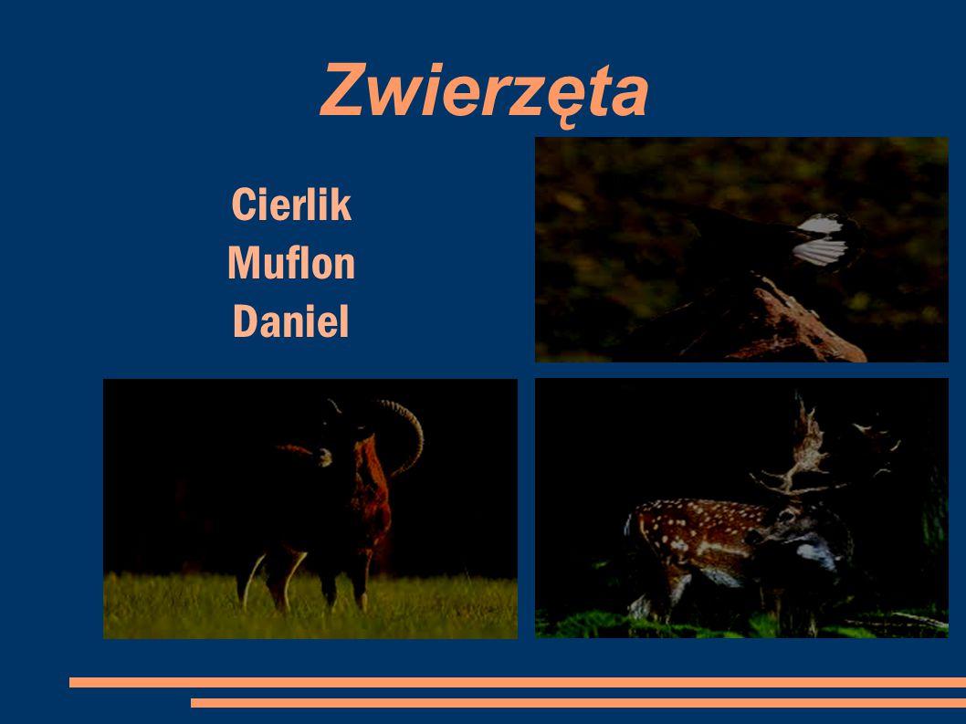 Zwierzęta Cierlik Muflon Daniel 10