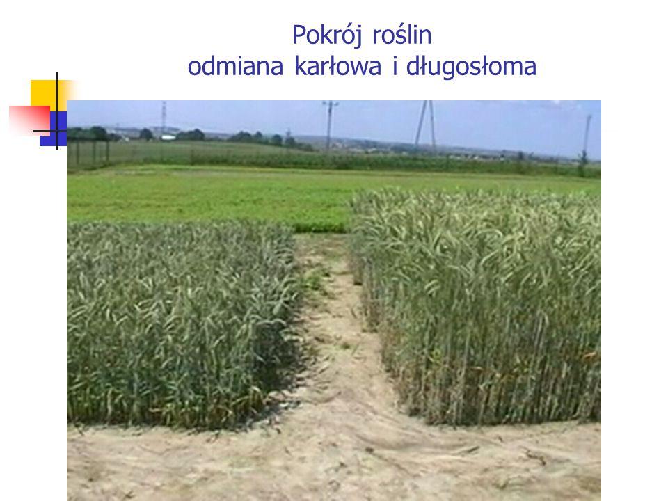 Pokrój roślin odmiana karłowa i długosłoma