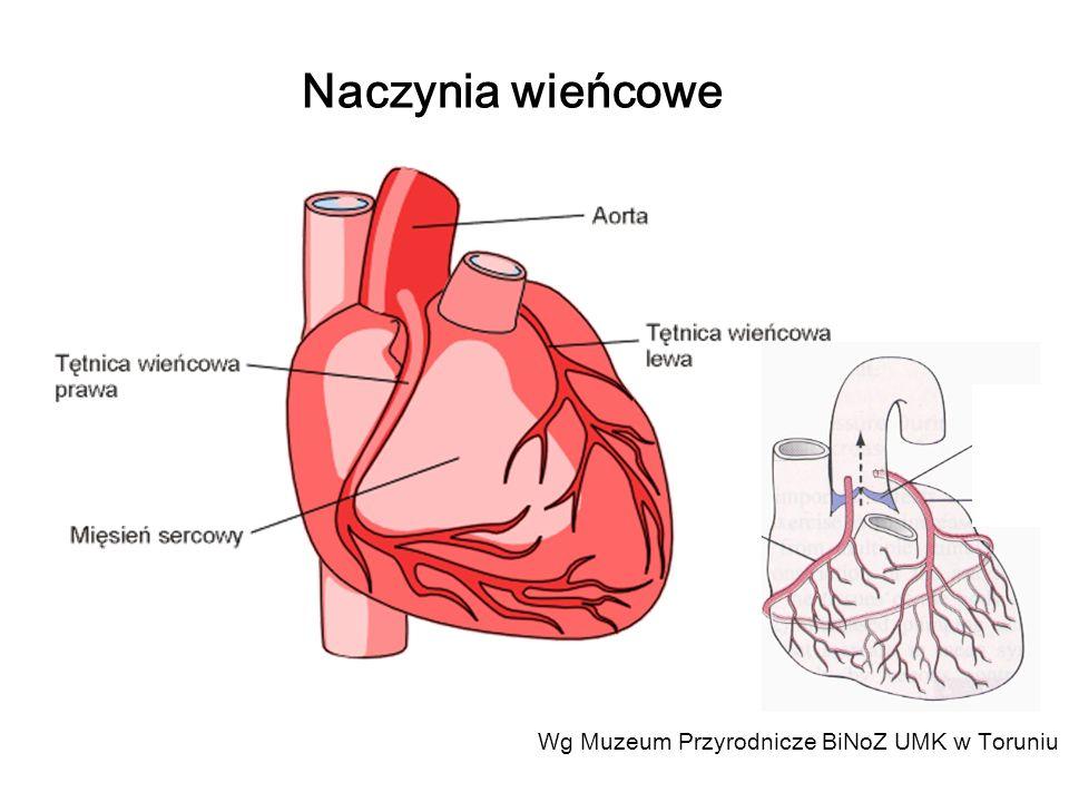 Naczynia wieńcowe Wg Muzeum Przyrodnicze BiNoZ UMK w Toruniu