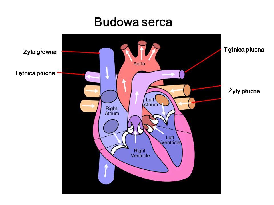 Budowa serca Żyły płucne Żyła główna Tętnica płucna