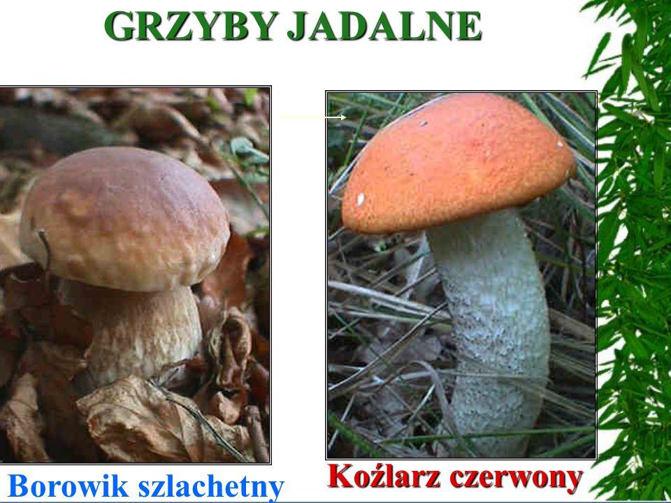 GRZYBY JADALNE Borowik szlachetny Koźlarz czerwony