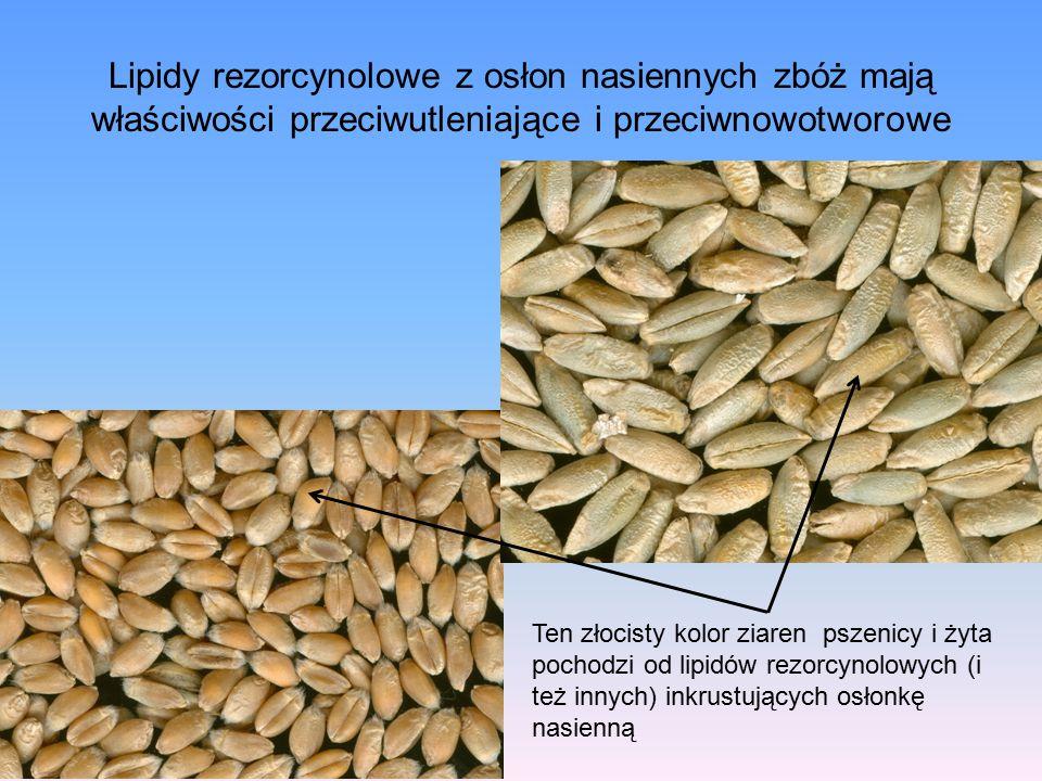 Lipidy rezorcynolowe z osłon nasiennych zbóż mają właściwości przeciwutleniające i przeciwnowotworowe