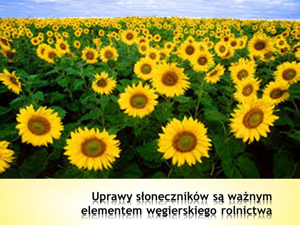 Uprawy słoneczników są ważnym elementem węgierskiego rolnictwa
