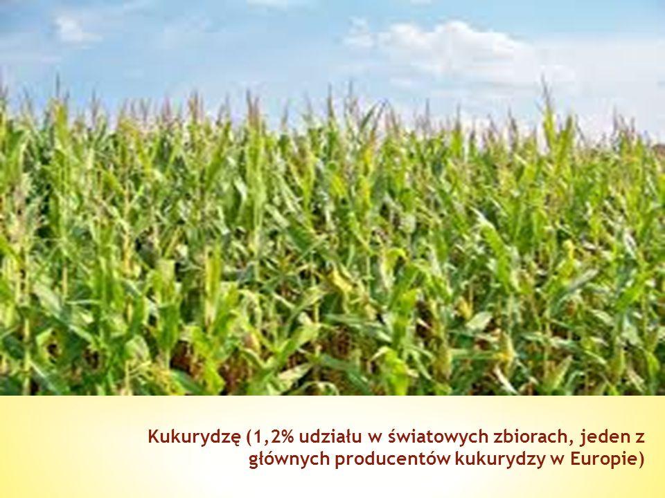 Kukurydzę (1,2% udziału w światowych zbiorach, jeden z głównych producentów kukurydzy w Europie)