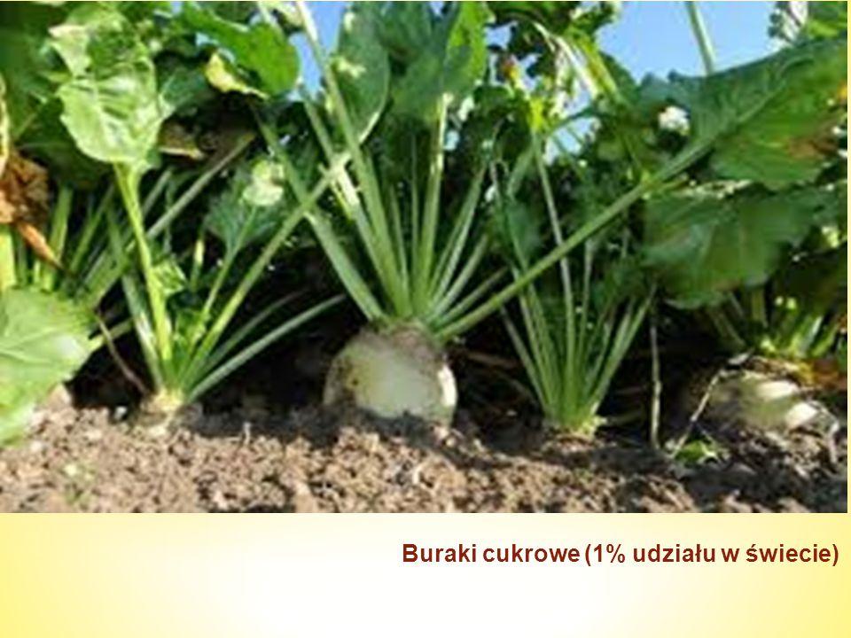 Buraki cukrowe (1% udziału w świecie)