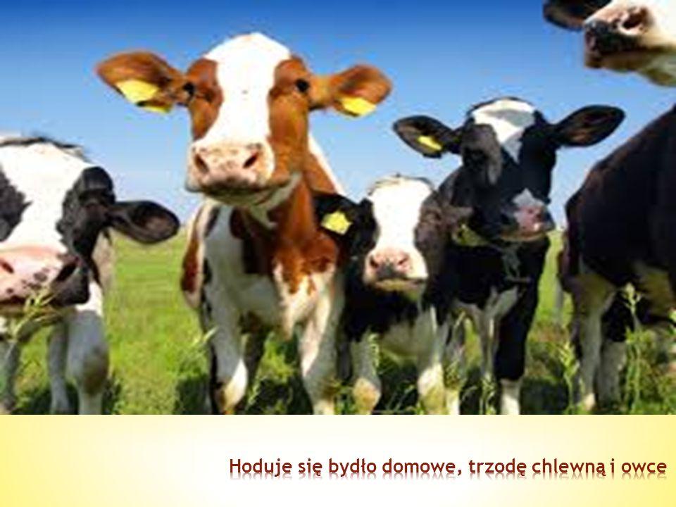 Hoduje się bydło domowe, trzodę chlewną i owce