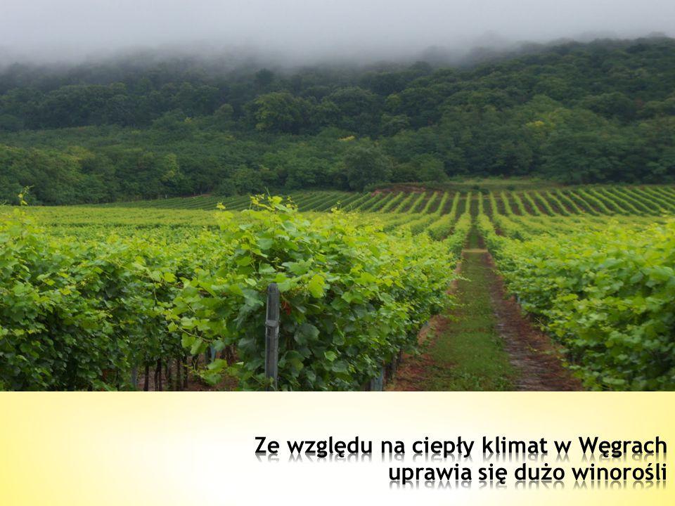 Ze względu na ciepły klimat w Węgrach uprawia się dużo winorośli