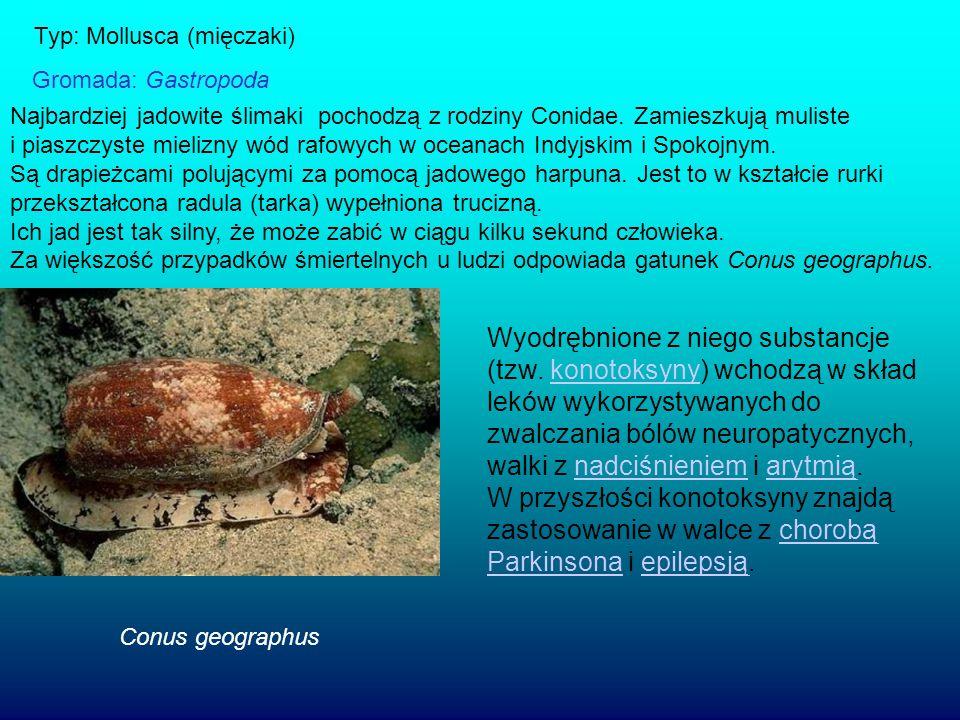 Typ: Mollusca (mięczaki)