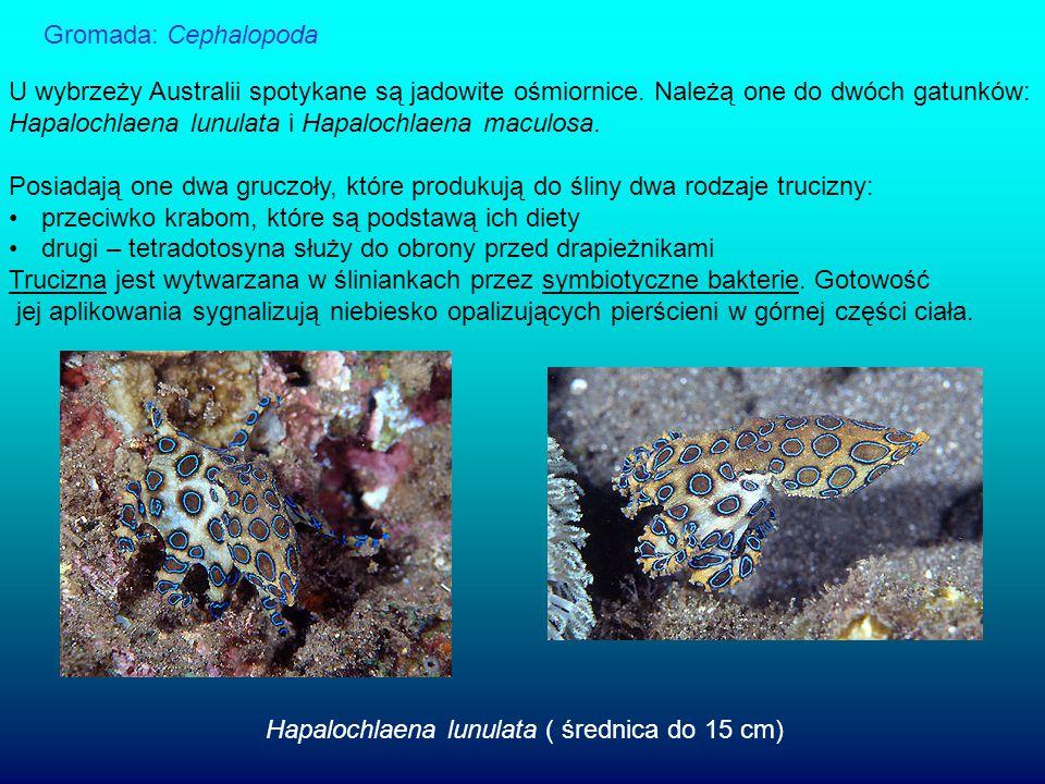Gromada: Cephalopoda U wybrzeży Australii spotykane są jadowite ośmiornice. Należą one do dwóch gatunków: