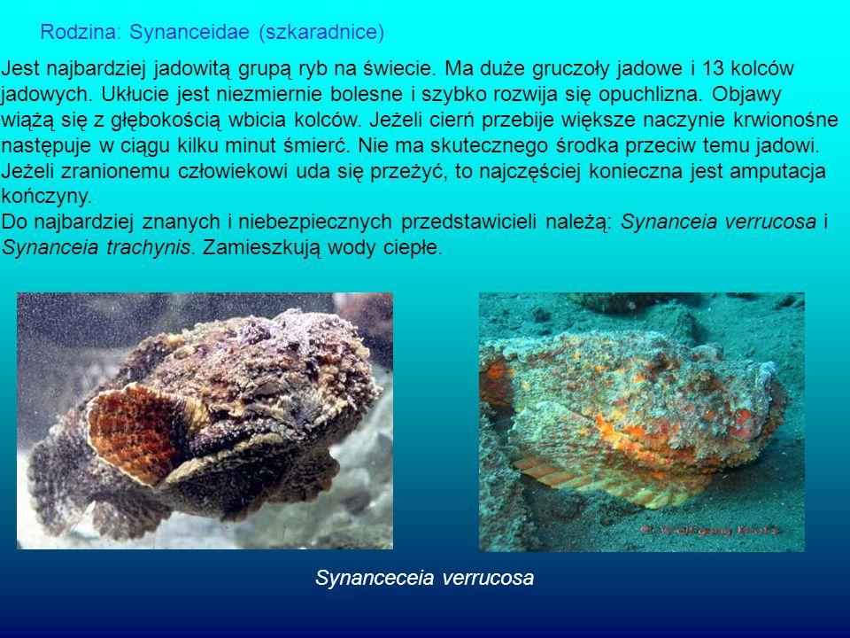 Rodzina: Synanceidae (szkaradnice)