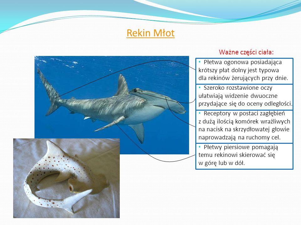Rekin Młot Ważne części ciała: