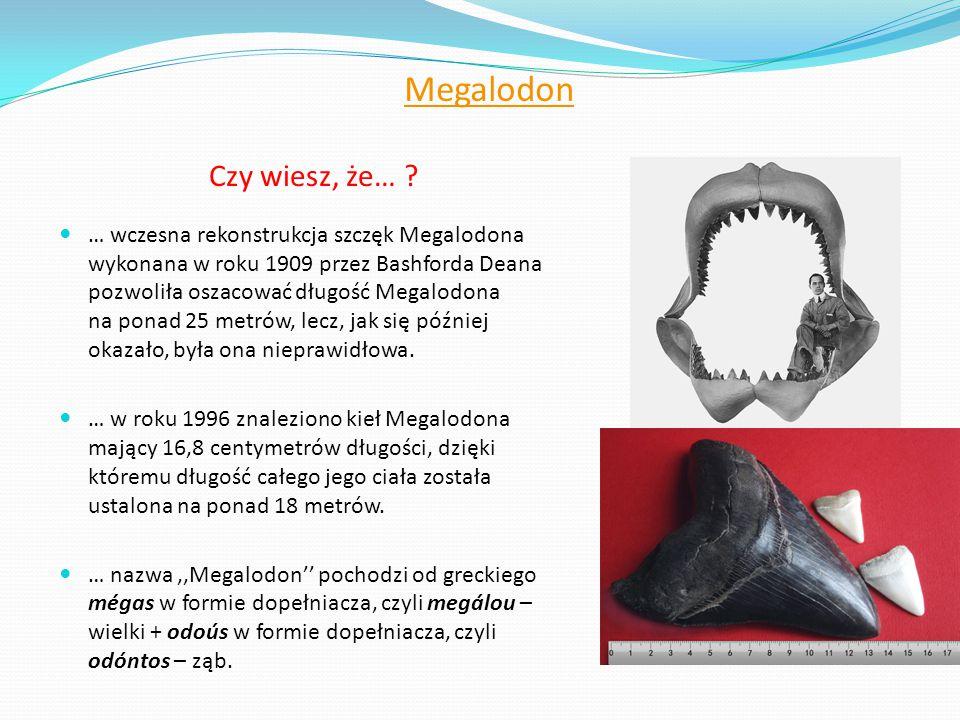 Megalodon Czy wiesz, że…