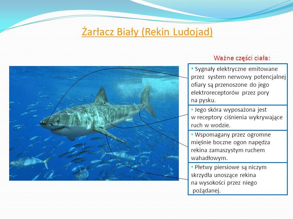 Żarłacz Biały (Rekin Ludojad)