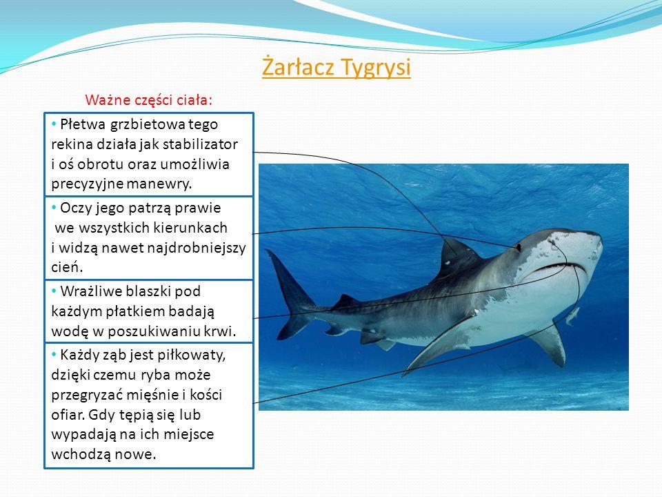 Żarłacz Tygrysi Ważne części ciała: