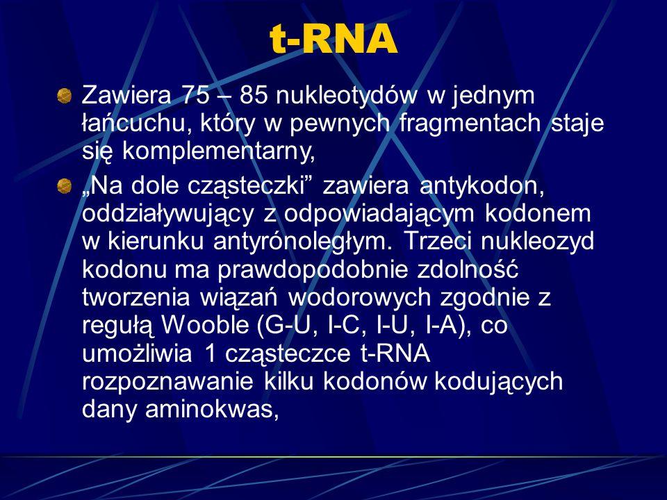 t-RNAZawiera 75 – 85 nukleotydów w jednym łańcuchu, który w pewnych fragmentach staje się komplementarny,