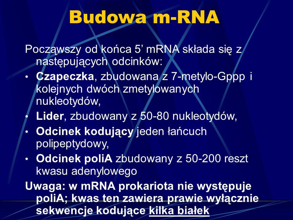 Budowa m-RNAPocząwszy od końca 5' mRNA składa się z następujących odcinków: