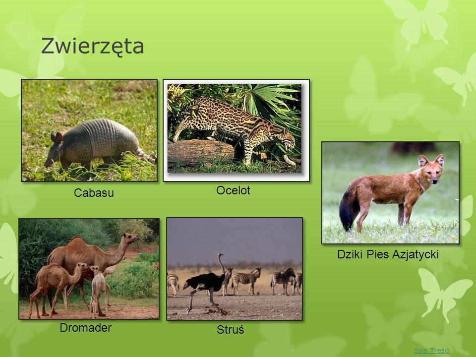 Zwierzęta Ocelot Cabasu Dziki Pies Azjatycki Dromader Struś