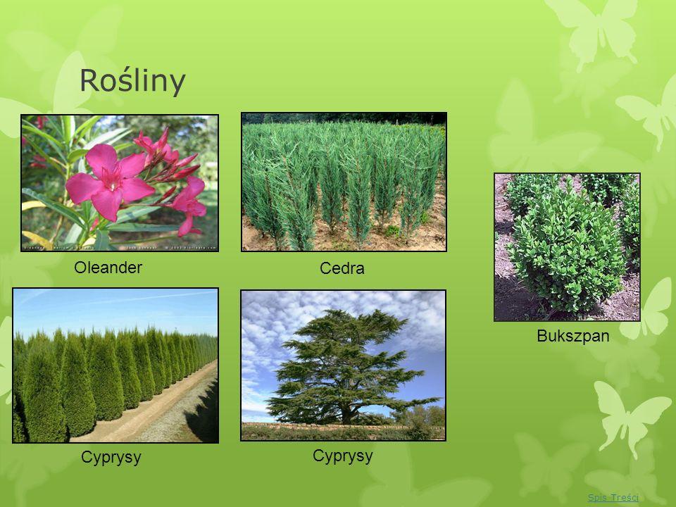 Rośliny Oleander Cedra Bukszpan Cyprysy Cyprysy Spis Treści
