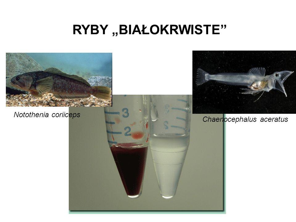 "RYBY ""BIAŁOKRWISTE Chaenocephalus aceratus Notothenia coriiceps"