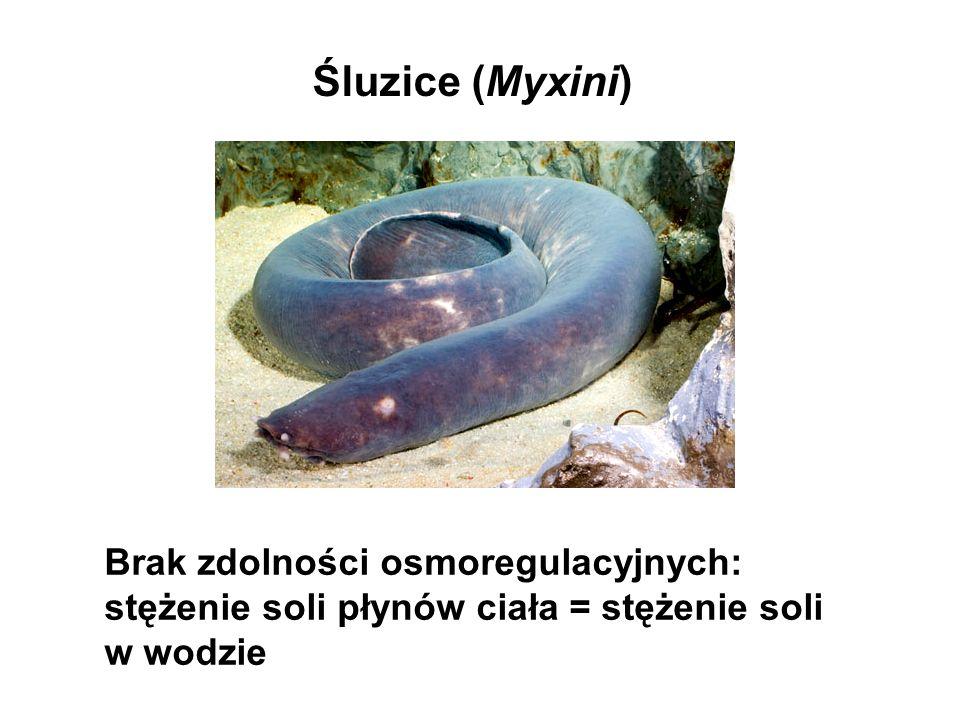 Śluzice (Myxini) Brak zdolności osmoregulacyjnych: stężenie soli płynów ciała = stężenie soli w wodzie.