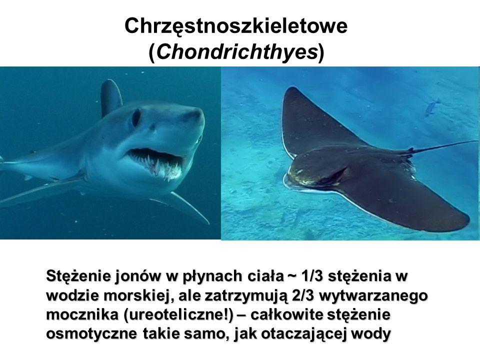 Chrzęstnoszkieletowe (Chondrichthyes)