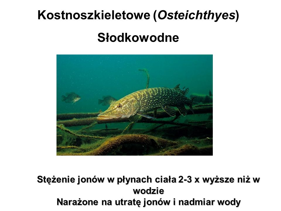 Kostnoszkieletowe (Osteichthyes) Słodkowodne