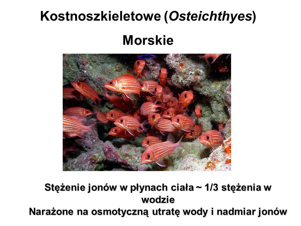 Kostnoszkieletowe (Osteichthyes) Morskie